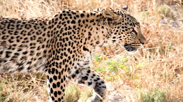 slow mo ms cheetah walking in the grass - leopard bildbanksvideor och videomaterial från bakom kulisserna