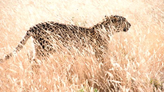 slow mo ls cheetah walking in the grass - leopard bildbanksvideor och videomaterial från bakom kulisserna