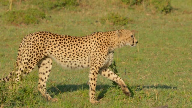 Cheetah walking in the plains of Maasai Mara National Reserve, Kenya, Africa