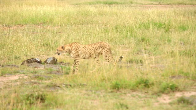 Cheetah watching for preying at wild video