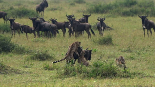 Cheetahs and Wildebeest Kill Cheetahs and Wildebeest Kill bird of prey stock videos & royalty-free footage