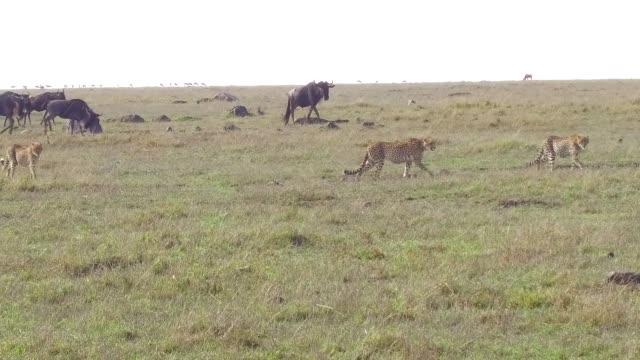 çita ve antiloplar, afrika savana içinde - etçiller stok videoları ve detay görüntü çekimi