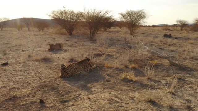 WS Cheetahs feeding in sunny remote desert, Namibia, Africa