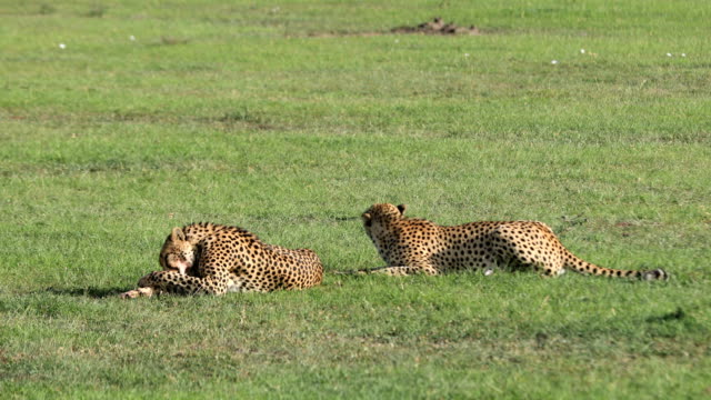 Cheetahs Feeding video