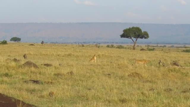 çitalar, afrika savana avcılık - etçiller stok videoları ve detay görüntü çekimi