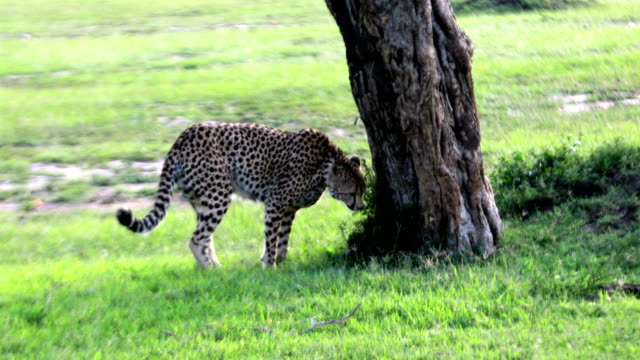 Cheetahs Hunting / preying pee video