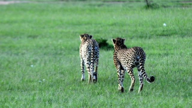 Cheetahs Hunting / preying video
