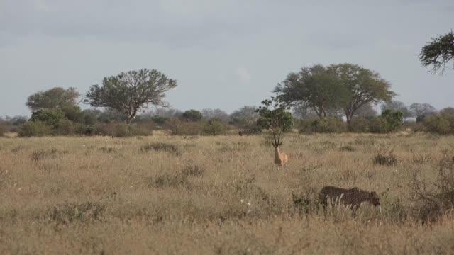 geparder i savannen - single pampas grass bildbanksvideor och videomaterial från bakom kulisserna