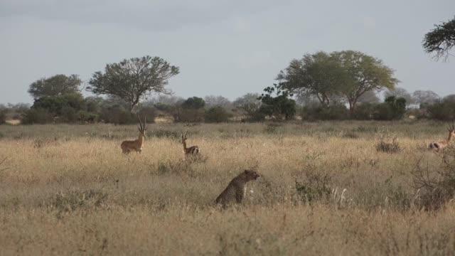 Cheetahs in the savannah