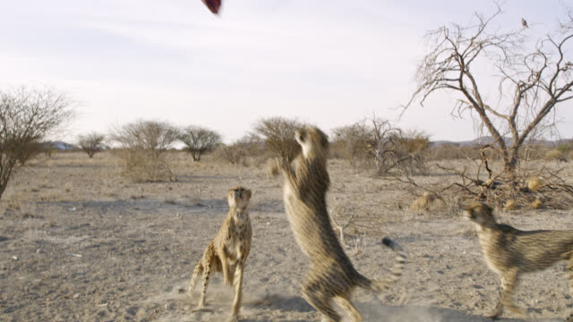 MS Cheetahs jumping for meat,Namibia,Africa