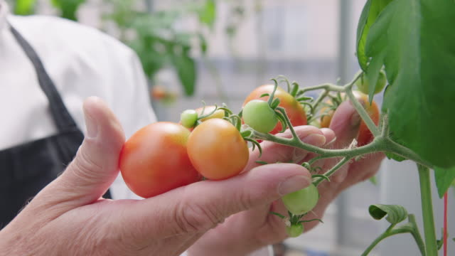 Chef at examining tomatoes in organic garden Chef at examining tomatoes in organic garden. Man in apron looking at tomatoes growing in organic garden. homegrown produce stock videos & royalty-free footage