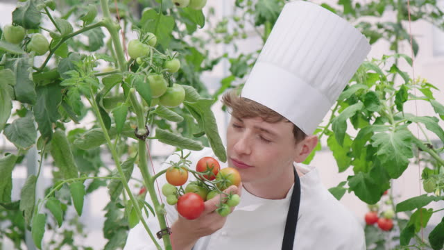 Chef at smelling unripe tomatoes in greenhouse Young hotel chef at smelling unripe tomatoes on plant in organic garden. Young man in apron and chef hat in greenhouse. homegrown produce stock videos & royalty-free footage