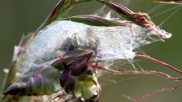Cheiracanthium punctorium spider female make a cocoon in wildlife video