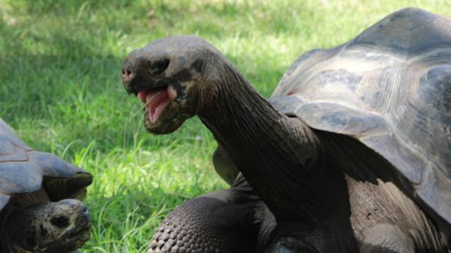 Chelonoidis nigra dominance relations Chelonoidis nigra giant tortoise stock videos & royalty-free footage
