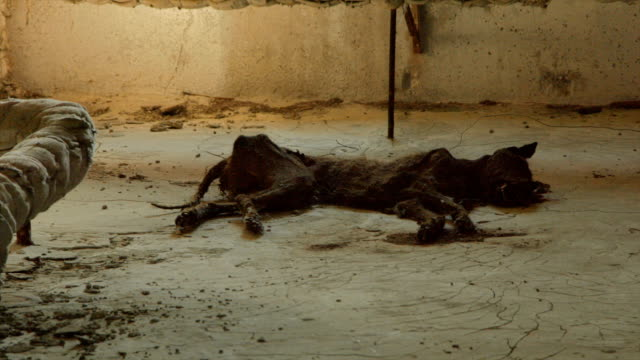 Chernobyl - Rotting Dog Corpse in contaminated Apartement video