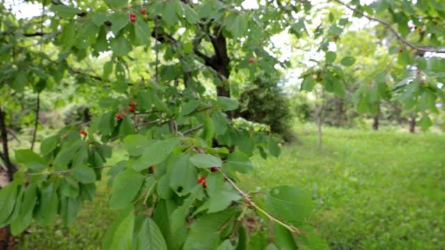 緑の葉を持つ枝からぶら下がっているチェリー - 熟していない点の映像素材/bロール