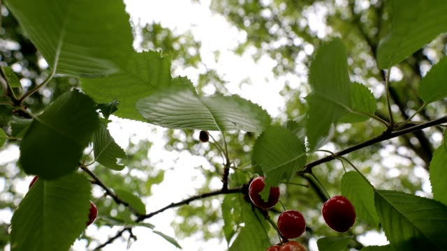 Cherries hanging from a branch with green leaves