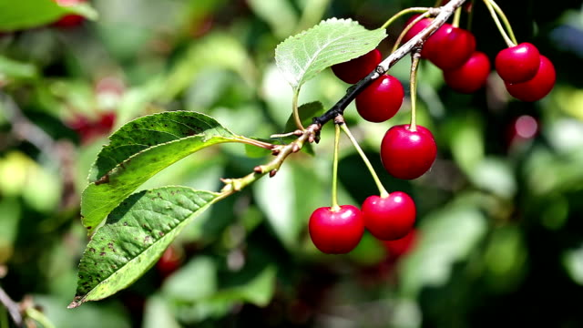 Cherries on Tree video