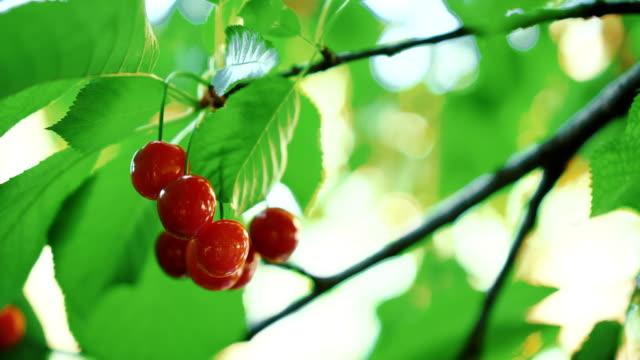 cherries - colore ciliegia video stock e b–roll