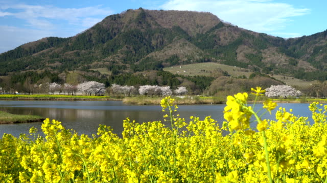 Cherry and rape blossoms in full bloom video