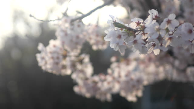 vídeos de stock, filmes e b-roll de flor de cerejeira em nerima, em tóquio - cerejeira árvore frutífera