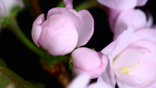 Cherry blooming flowers video