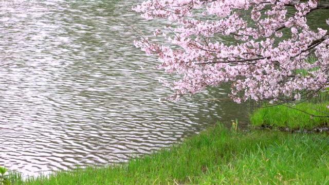 cherry blossom -4K- video