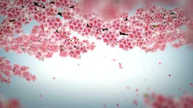 vídeos y material grabado en eventos de stock de animación de flor de cerezo. - pétalo