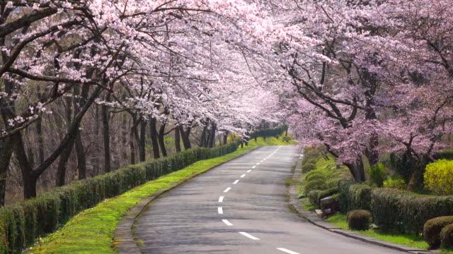 cherry blossom  arch -4K- video