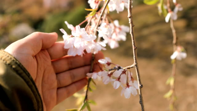 Kirschblüte im Park Koishikawa Kourakuen in Tokio – Video