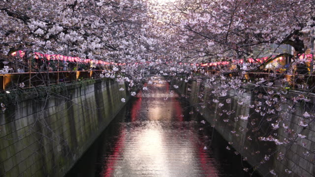 cherry blossom  at meguro canal in tokyo - cherry blossom stock videos and b-roll footage