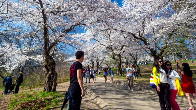 Cherry blossom at the park video