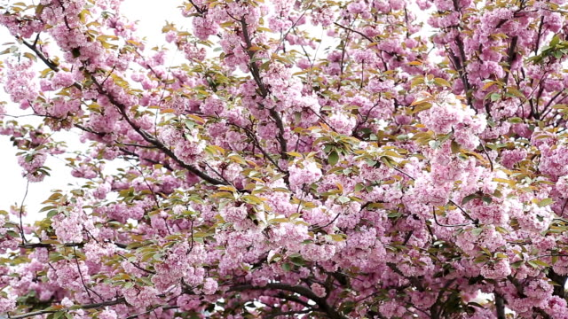 cherry blossom background with lovely pink color video