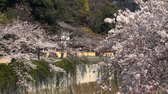 神田川で古い家の背後にある桜 ビデオ