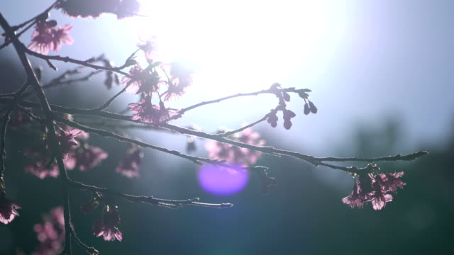 Cherry blossom branch and sunny Cherry blossom branch and sunny. april stock videos & royalty-free footage