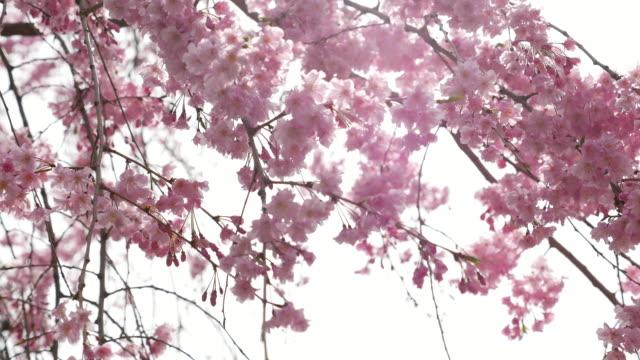DS:Cherry blossom flowers ,Japan video