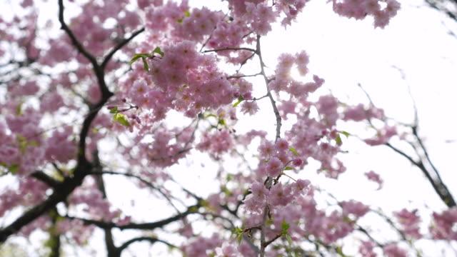 Cherry blossom flowers ,Japan video