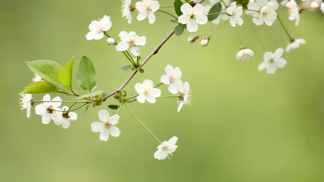 Cherry blossom flowers on wind - green background video
