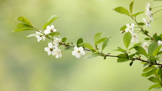 Cherry blossom flowers panning on wind - green background video