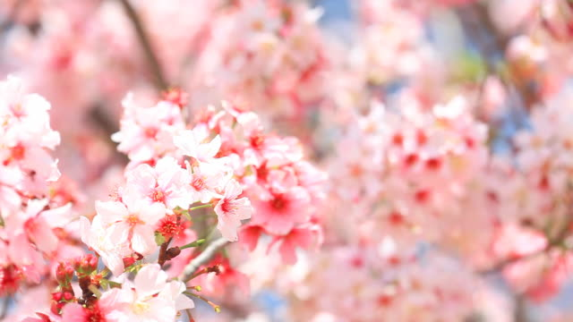 Cherry Blossom - HD Video video