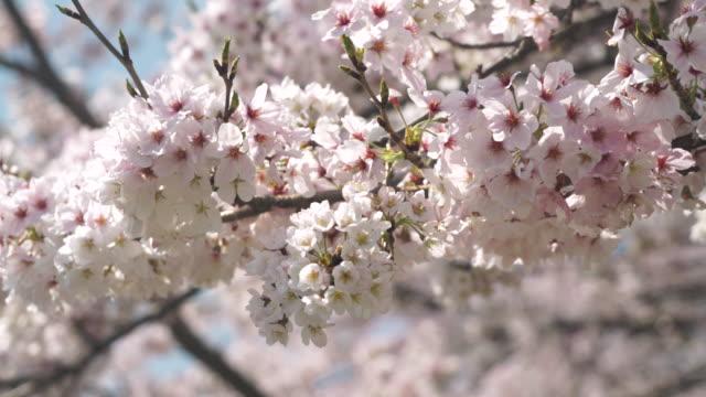 Cherry blossom in full bloom video