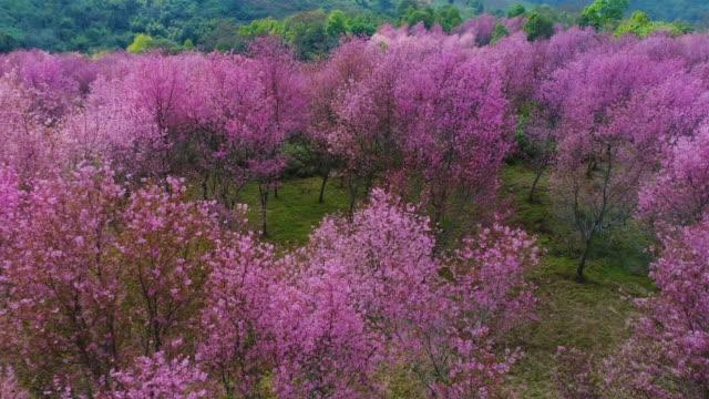 桜プー lom lo - 各国の観光地点の映像素材/bロール