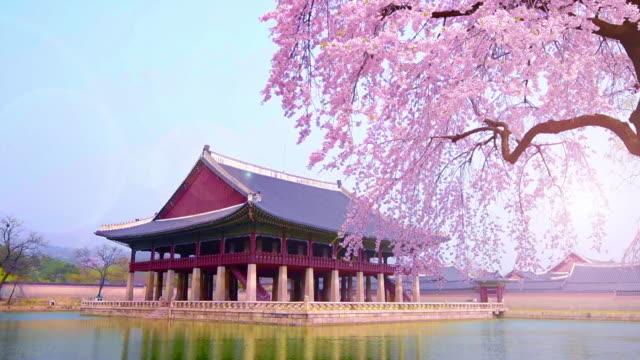cherry blossom in spring of Gyeongbokgung Palace in seoul,korea. cherry blossom in spring of Gyeongbokgung Palace in seoul,korea. gyeongbokgung stock videos & royalty-free footage