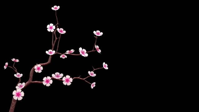 vídeos de stock, filmes e b-roll de flor de cerejeira isolada no fundo preto com alpha matte - estampa floral