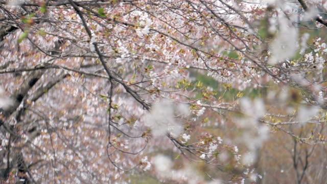stockvideo's en b-roll-footage met kersenbloesem petal vallen door de wind slow motion - bloesem