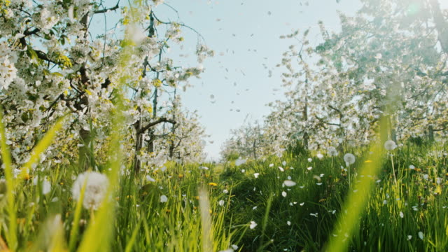 slo mo cherry blossom kronblad falla av träden - fruktträdgård bildbanksvideor och videomaterial från bakom kulisserna