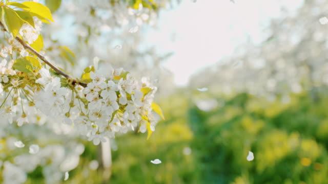 vídeos de stock, filmes e b-roll de pétalas de flor de cereja de slo mo caindo de árvores - cerejeira árvore frutífera