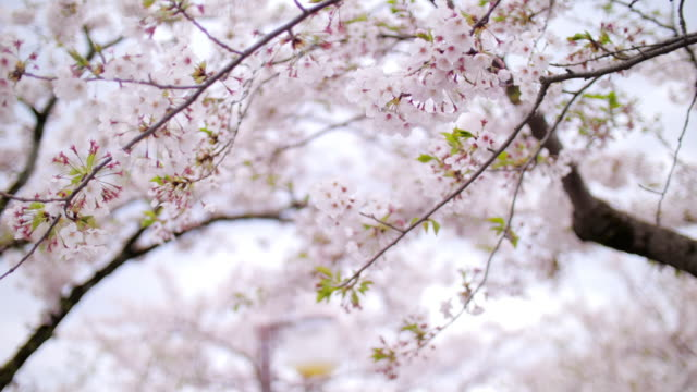 Cherry blossom petals falling springtime in Tokyo Japan , SLOW MOTION