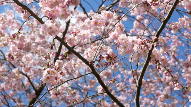 Cherry Blossom, Sakura, 4K(UHD) video