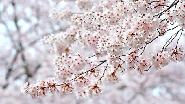 fiore di ciliegio e sakura in primavera. - albicocco video stock e b–roll
